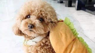 Toy Poodle  Funny Poodles  Poodle Puppy   Cute Poodle – Poodle Video Compilation #1