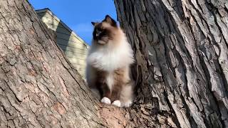 Ragdoll Cats Outside Take 2: Vlogging LIVE Day 7