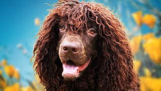 Irish Water Spaniel  Ultimate Owner's Guide (Top Pros and Cons)