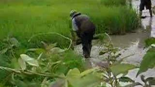 Rice field labour in Thailand