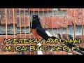 Kretekan Dan Suara Murai Batu F Pendongkrak Emosi  Mp3 - Mp4 Download