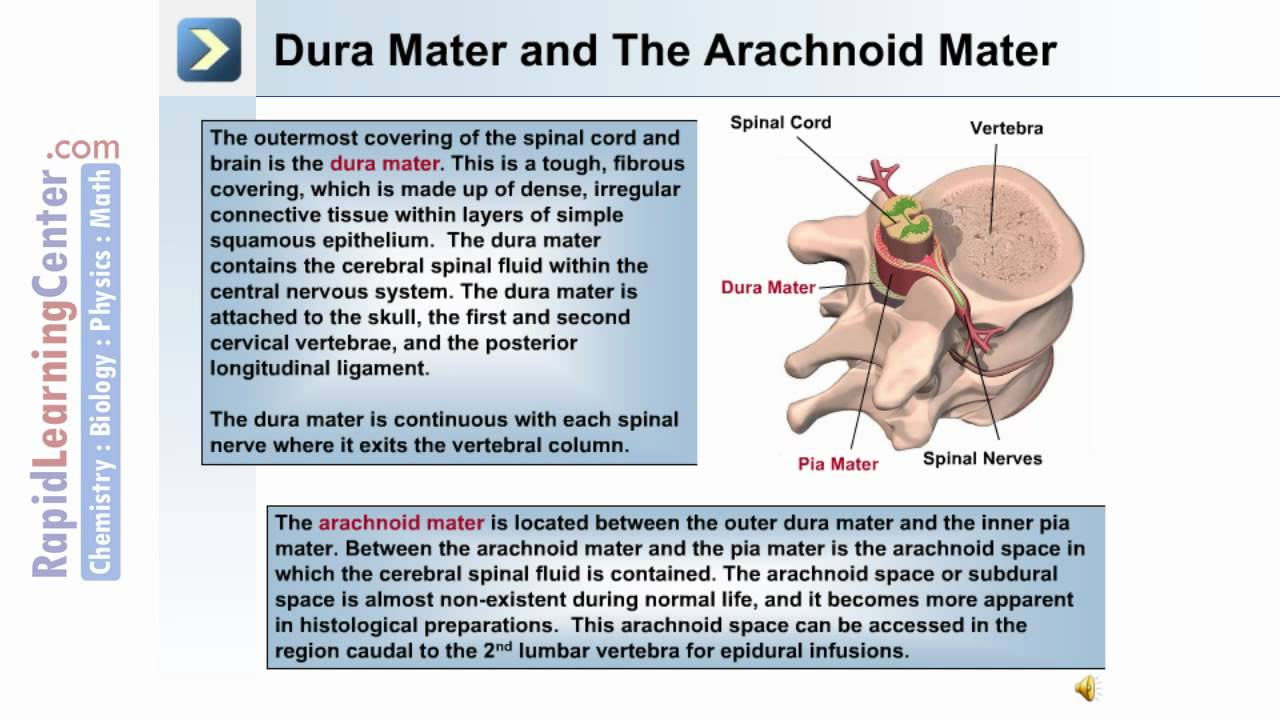 The Spinal Cord And Spinal Nerves What Is The Spinal Cord Youtube