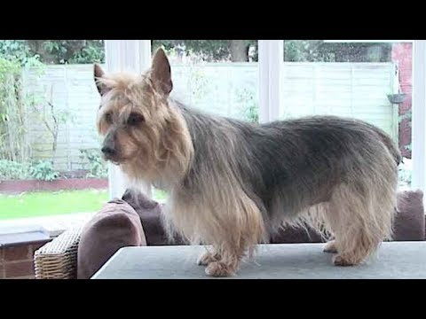 Dog Breed video: Australian Terrier