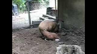 Size Does Matter - Piggy Love