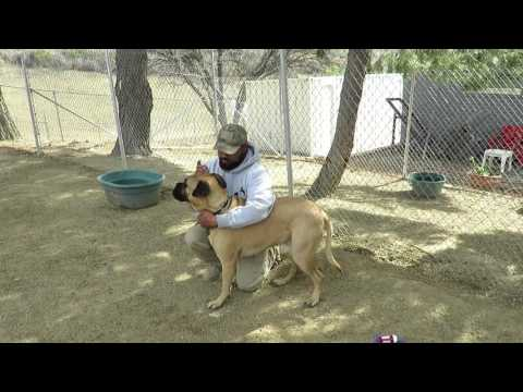 Cleaning Your Bullmastiff's Ears