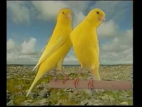 Canario Lipocromo Amarillo Intenso.avi