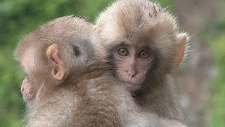 【SNOW MONKEY】 ☆Cute Baby☆ Growth 7 地獄谷野猿公苑