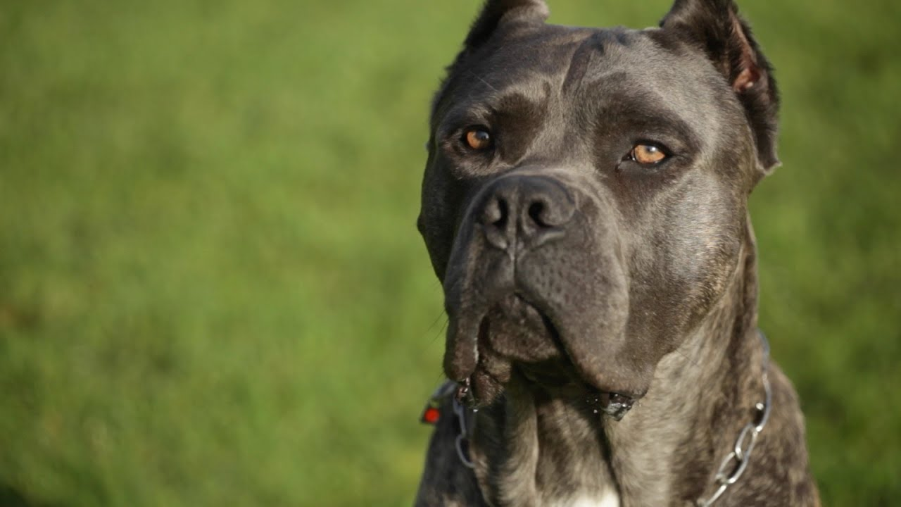 HOBBY CANE CORSO BREEDER SHOWS OFF HER AMAZING ITALIAN ...