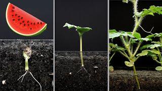 Watermelon time lapse - 24 dąys - 4k