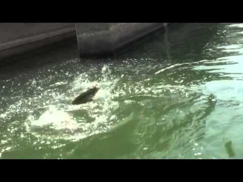 Muskie fishing pa spillway 7 3 2012 youtube for Pa out of state fishing license