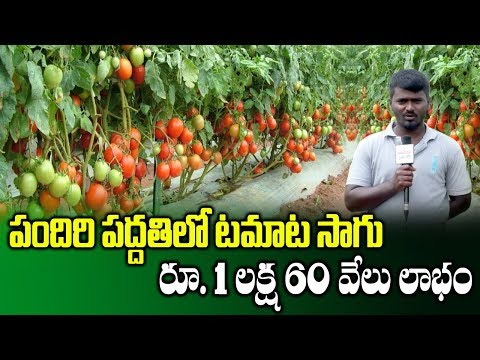 Tomato Farming With Pendal System || Profits With Tomato Crops || SumanTV Rythu