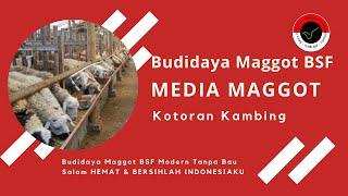 Kotoran Sapi Media Budidaya BSF Modern TANPA BAU!
