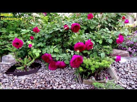 Розы обзор  сортов 8 часть