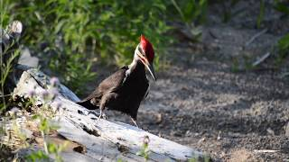 Pileated Woodpecker HD