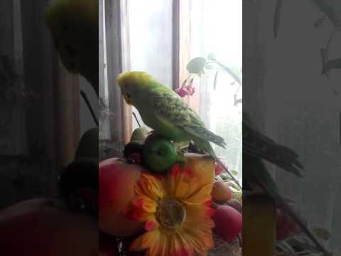 Армянский попугай