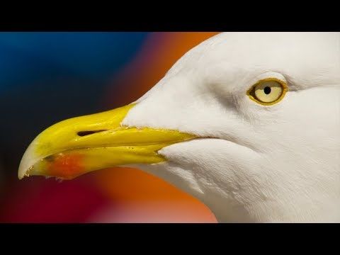 A Seagulls Unbelievable Eyesight | Nature\'s Boldest Thieves | Earth Unplugged