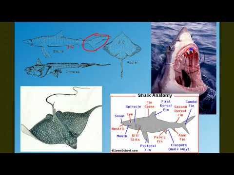 Vertebrate Diversity: The Fish