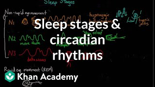 Sleep stages and circadian rhythms