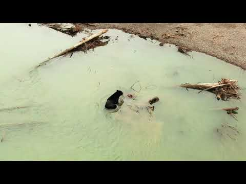 Black Bear Hunting For Fish Along The Skeena River