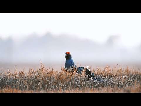 Grouse Shooting - The Real Story
