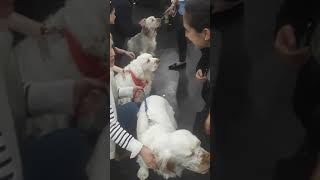 Meet the breed  nyc '20 clumber spaniel
