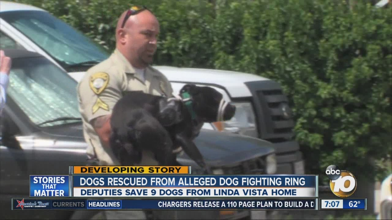 dogs rescued from alleged dog fighting ring