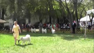 Oakland Kennel Club Vallejo Belle 3-28-10