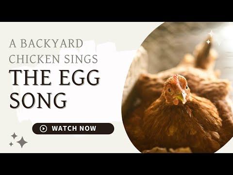 How Much Noise Do Hens Make? The Egg Song