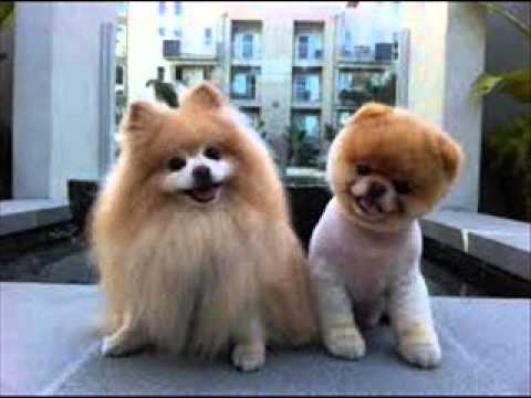 pomeranian haircut - YouTube