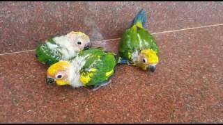 Wild bird sun conure chicks pathukoga pa ithutha || wonderpets