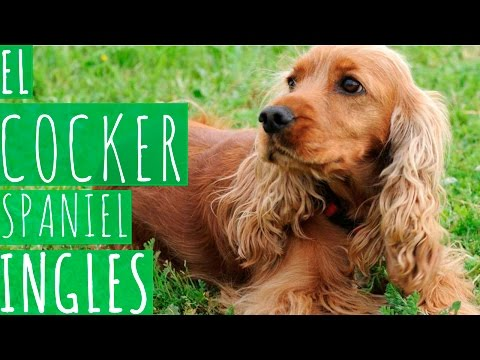 EL COCKER SPANIEL INGLES