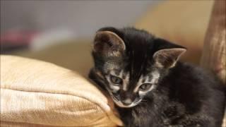Brown Rosetted Charcoal (or Apb/Apb) kittens from Sahara & Baloo