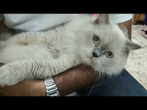 Siamese Cat Breed Information by Dr. Sagir's Pet Clinic 01912251312