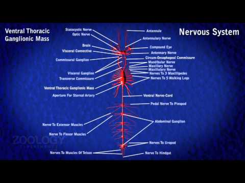 Prawn nervous system youtube prawn nervous system ccuart