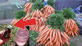 Морковь с ума сходит от этой подкормки в июне июле! Чем подкормить морковь чтобы выросла крупная?