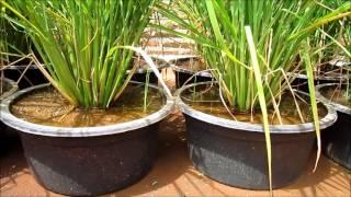 Video Tanam Padi Organik & Lombok Organik di Pot Lantai 2 Bojonegoro, MEMBAHAGIAKAN download MP3, 3GP, MP4, WEBM, AVI, FLV Agustus 2018