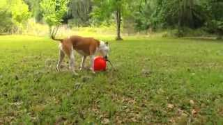 Maxwell, the Pit Bull, Tests the Tuggo Dog Toy Thumbnail