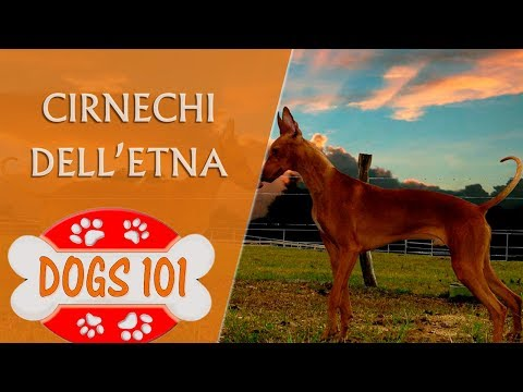 Dogs 101 - CIRNECHI DELL'ETNA - Top Dog Facts About the Cirnechi Dell'Etna