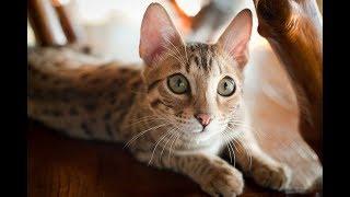 Веселые кошки-саванны | Подборка видео приколов про самых дорогих в мире котиков
