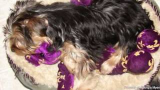 Sophie,  Akc Registered Female Yorkshire Terrier, For Sale, In West Texas