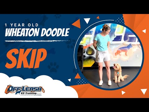 Skip   1 Year Old Wheaton Doodle   Off Leash   Basic Obedience   Dog Trainer   NOVA
