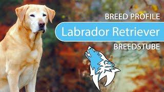 Labrador Retriever Breed, Temperament & Training