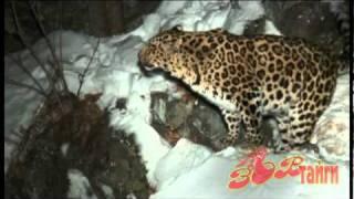 Дальневосточный леопард / Amur Leopard