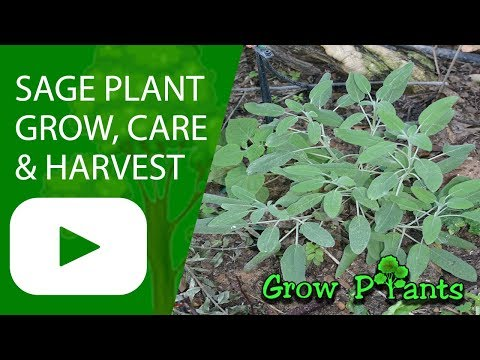 Sage plant - Salvia officinalis - grow, care and harvest