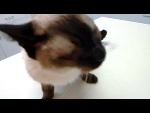 Angry siamese cat revisits vet