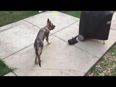 how to potty train a puppy - German shepherd potty training