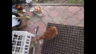Прикол кошка испугалась курицы 1 часть