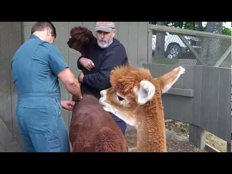 Alpaca Movie