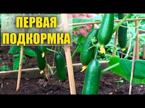 ПЕРВАЯ ПОДКОРМКА ОГУРЦОВ ПОСЛЕ ПЕРЕСАДКИ!