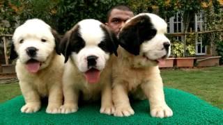Saint Bernard Puppies available in bangalore
